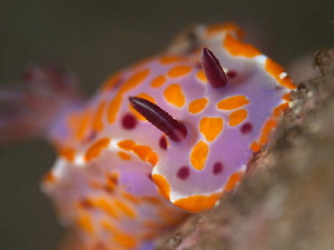 Ceratosoma amoenum, Bare Island by Doug Anderson 